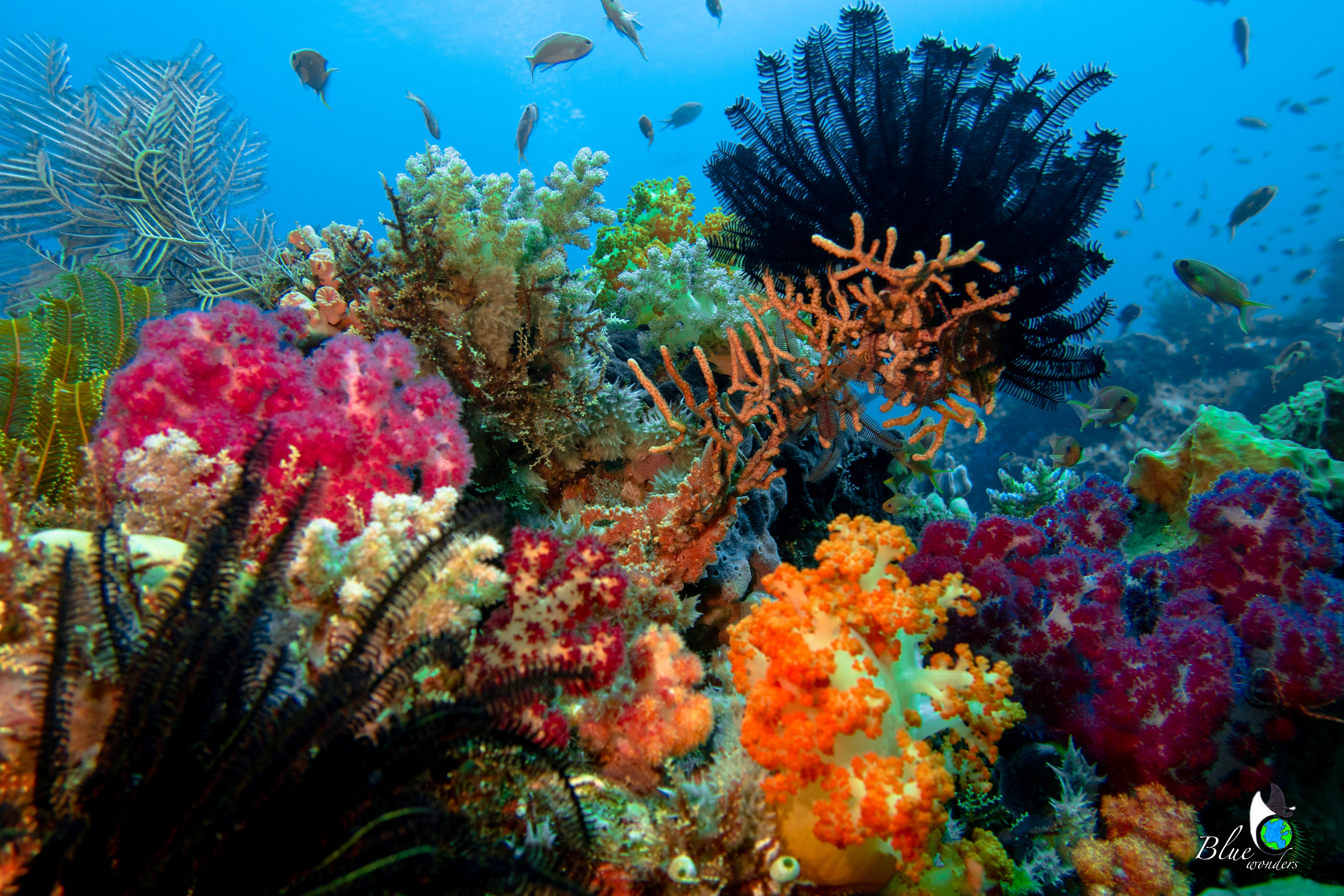 diving komodo - coral