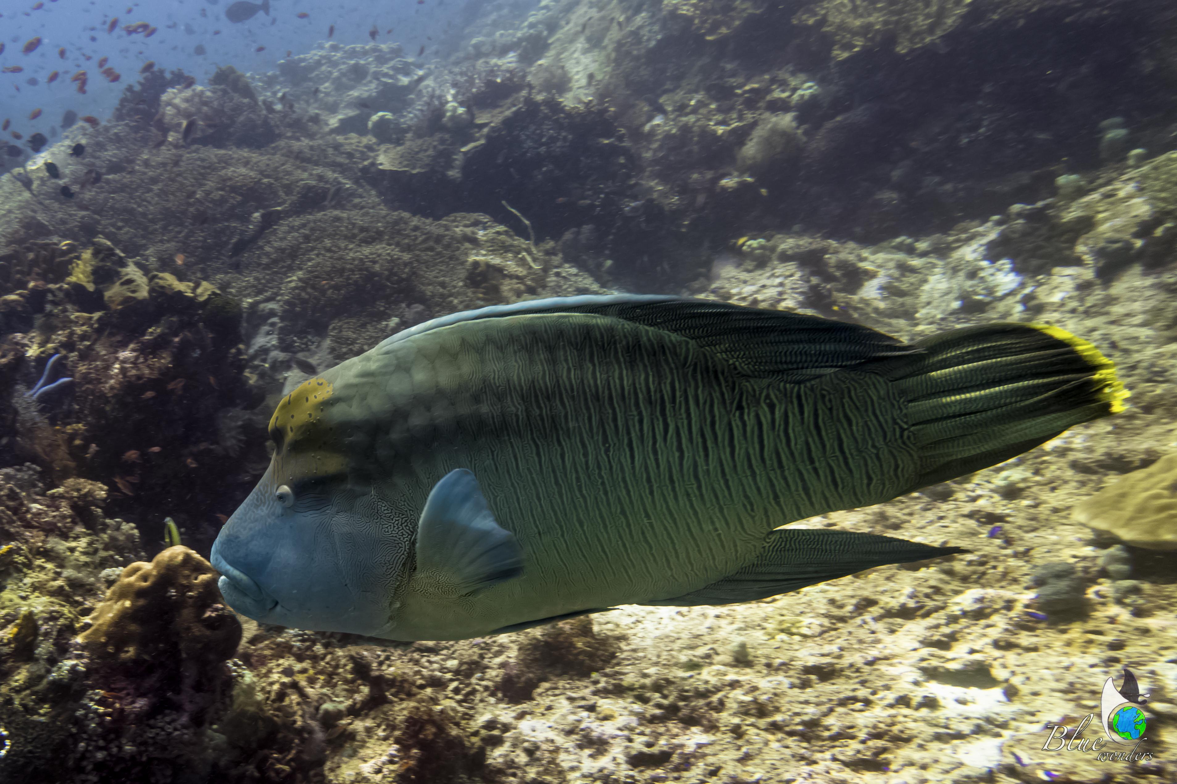 diving komodo - napoleon