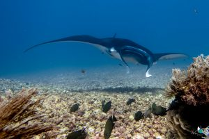 diving komodo - manta ray