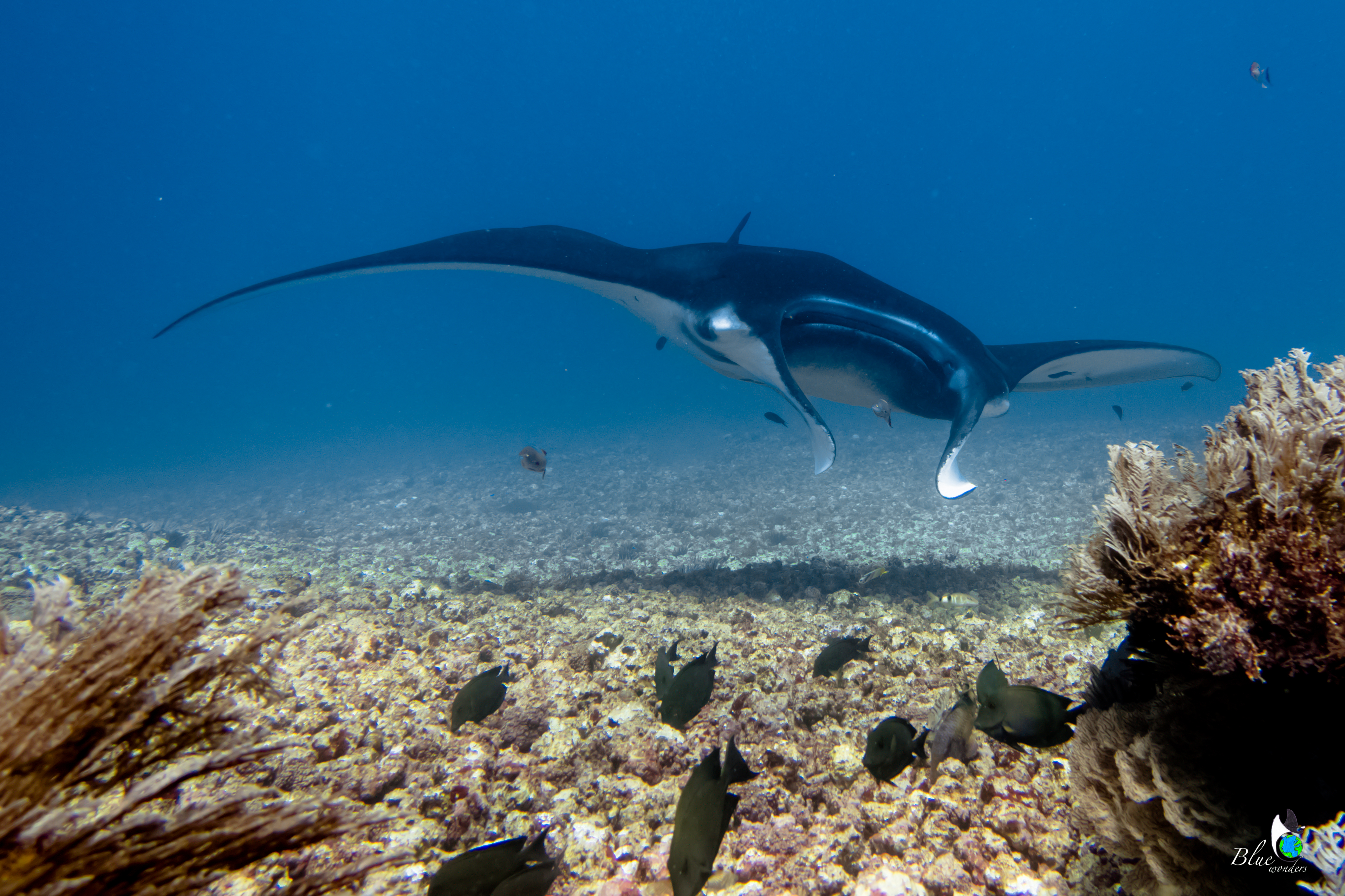 diving komodo - manta ray