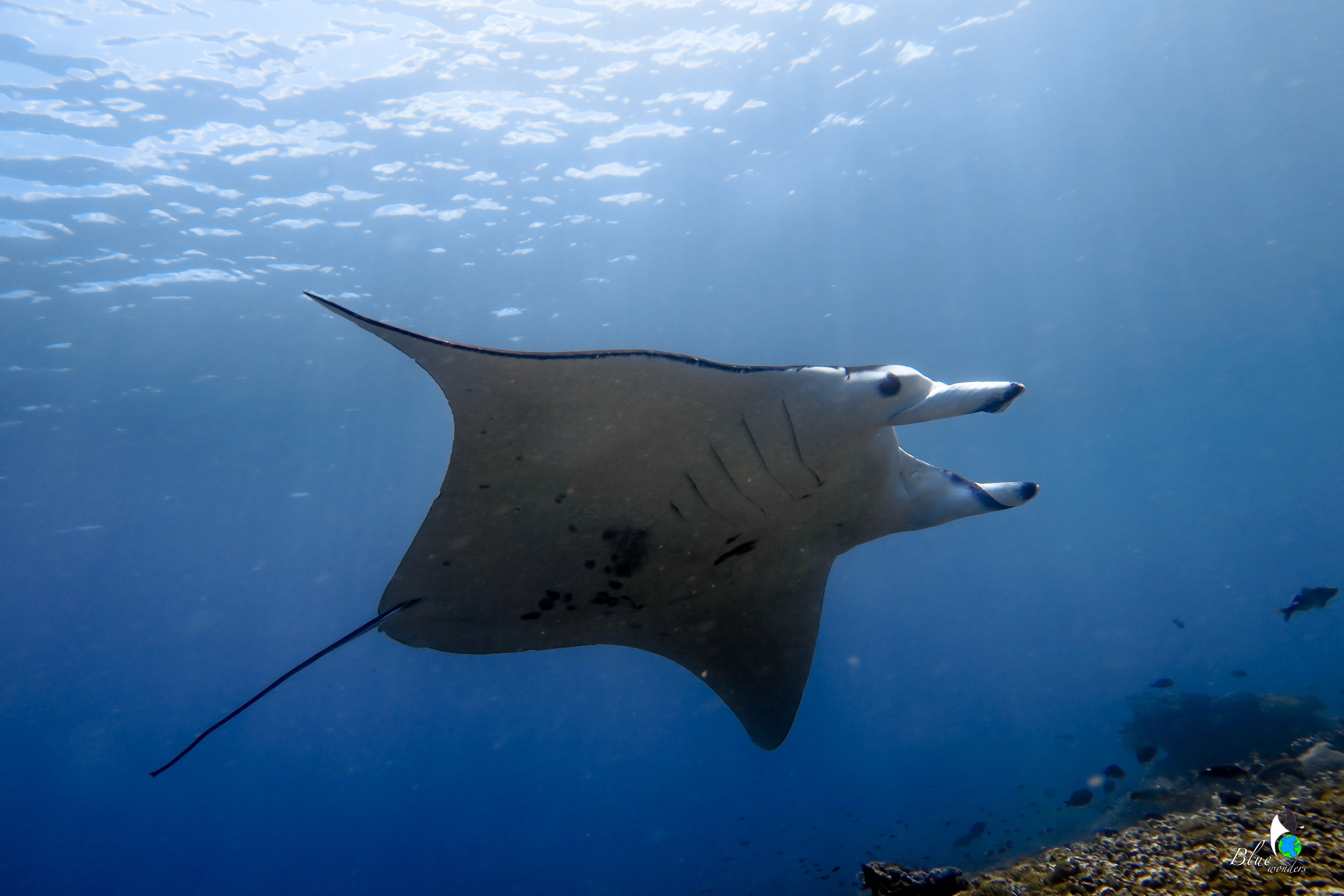 diving komodo - manta