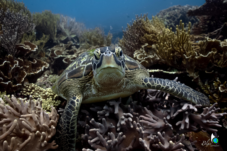 diving komodo - turtle